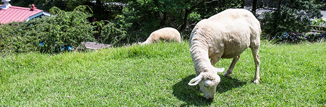 「羊プラセンタと他原料プラセンタの違い」サムネイル画像